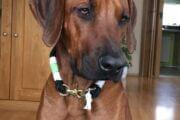 moderes Hundehals für Rhodesien Ridgeback