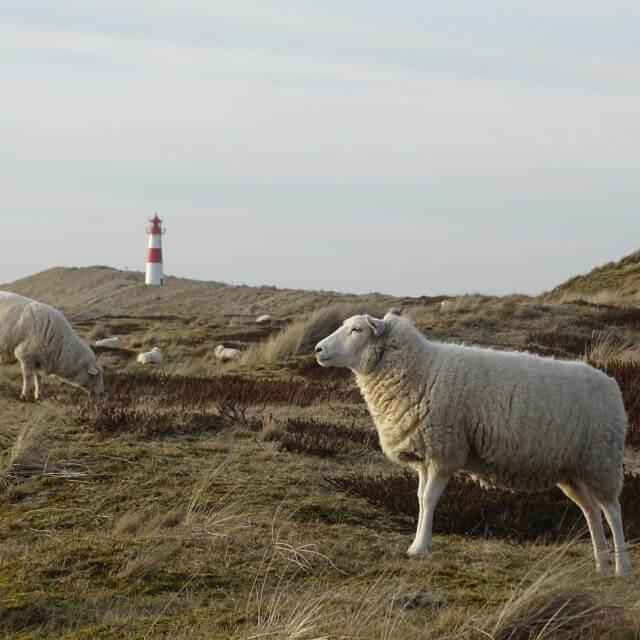 Nördlichster Punkt Deutschlands Lister Ellenbogen Schafe